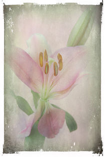 A Lily is Humble von Rozalia Toth
