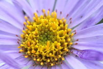 Purple and Yellow Flower by Megan Schatzman