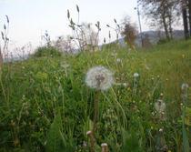 Dandelion - Beautiful white flower in spring Greece by Alkisti *