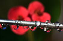 Blüten vom Christusdorn im Spiegel by Wolfgang Dufner