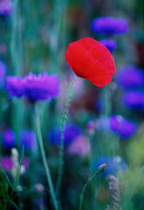 The Red Poppy 477 by Patrick O'Leary