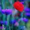477-poppy-coneflower-slide-970090-002