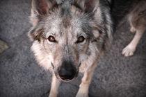 Wolf? by digitalbee