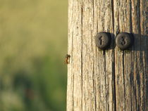 Wasp on a wooden telephone pole by Marcus Buchwald