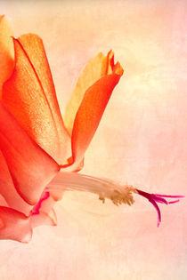 Rote Weihnachtskaktus Blüte von Christine Amstutz