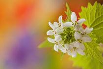 Weisser Frühlingszauber von Christine Amstutz