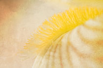 Gelbe Iris  by Christine Amstutz