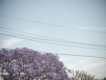 Jackaranda-tree