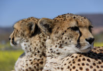 Heads of two cheetahs by metalmaus