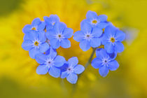 Forget Me Not by cecily