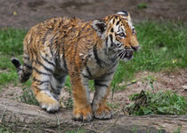 stehendes Tigerkind, tiger cub by metalmaus