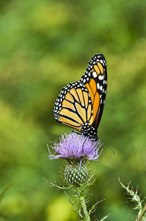 Monarch Butterfly by John Greim