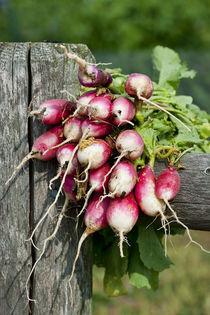 Fresh Radish Harvest. by John Greim