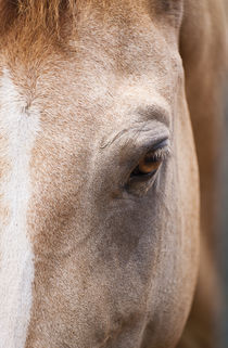 Close-up of a Chincoteague wild pony, Assateague, Virginia von John Greim