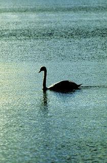 Swan Lake. by John Greim
