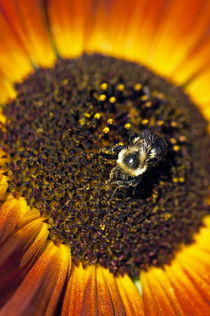 Bee and sunflower. von John Greim