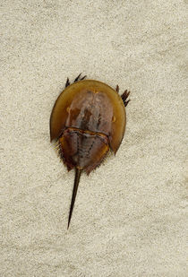 Horseshoe crab on beach. by John Greim