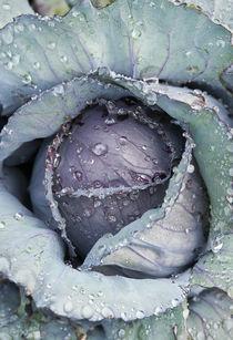 Cabbage by John Greim