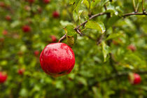 Ripe Red Apple by John Greim