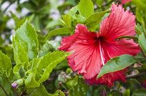Cv11-flower