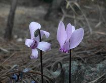 two wild flowers, purple by Alkisti *