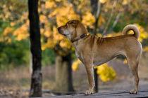 Golden Puppy by Maria Tchikalova