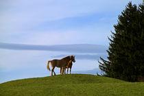 Haflinger Pferde by blickpunkte