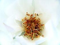 wild white rose von Fedor  Porshnev