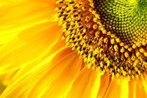 Sun flower by Diana Aliman