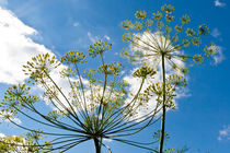 Dill ambrellas on blue sky. von Irina Moskalev