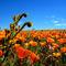 1-poppy-fields