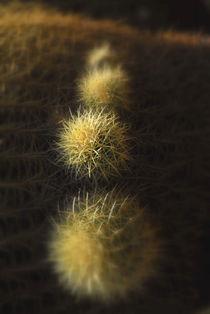 Cactus, Desert Garden The Huntington Library, San Marino, California