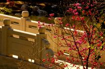 Cherry Blossoms in Chinese Garden, Huntington Library, California, USA von Brian  Leng