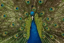 Blauer Pfau: prächtiges Aussehen von Iryna Mathes