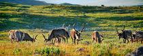 Reindeers / Rentiere von Martin Krämer