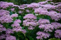 Small purple flowers by trishz