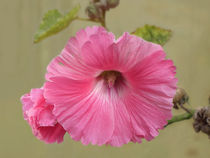 Hibiskus by flowers-and-sun