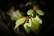 Beeren im Sonnenlicht von Elke Balzen