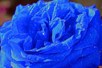 Rose blau von Thomas Brandt