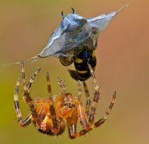 Spiders packed lunch. von mjparmy