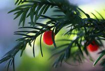 yewberries 1 by Gabriele  Nolte