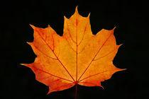 Maple Leaf von Wolfgang Dufner