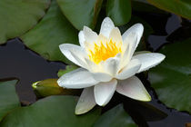 White Water Lily and Bud