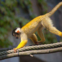 Squirrel Monkey 1 von safaribears