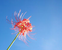Red Spider Lilly 2 by chelseadaniele
