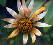 Vergänglichkeit,Herbst, Blüte,  by Simone Cuambe