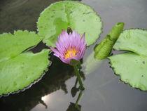 Halbgeöffnete Lotusblüte von Baerbel Nitychoruk