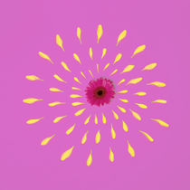 Pink Flower by Jozef Zidarov