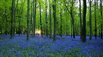Bluebell Wood von wayne pilgrim