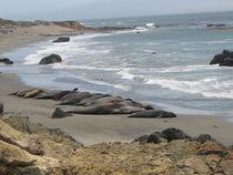 Kalifornien - Robben am Pacific Coast Highway by Baerbel Nitychoruk